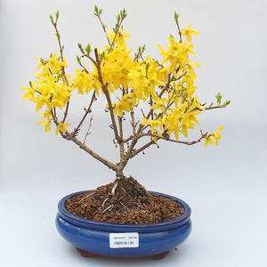 Venkovní bonsai - Zlatice - Forsythia intermedia Week End