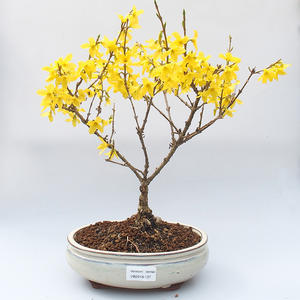 Venkovní bonsai -Zlatice - Forsythia intermedia Week End
