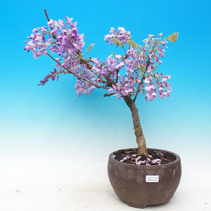 Vonkajšie bonsai - Wisteria - Wisteria chinensis