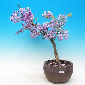Venkovní bonsai - Wistarie - Wistaria chinensis
