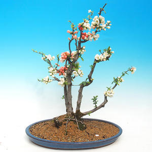 Vonkajšie bonsai - Chaenomeles - Dulovec dvojfarebný