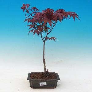 Vonkajšie bonsai - Acer palm. Atropurpureum-Javor dlaňolistý