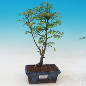Venkovní bonsai - Tisovec dvouřadý