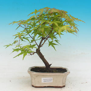 Venkovní bonsai - Acer pal. Sango Kaku - Javor dlanitolistý