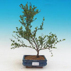 Venkovní bonsai - bříza trpasličí - Betula NANA