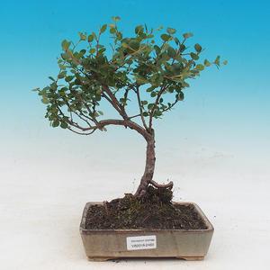 Vonkajšie bonsai - breza trpasličí - Betula NANA