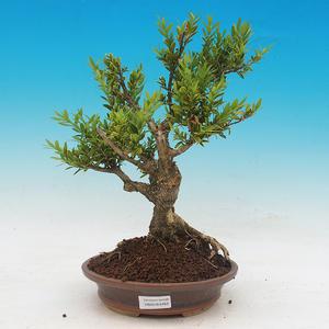 Vonkajšie bonsai - Buxus
