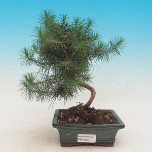 Pokojová bonsai-Pinus halepensis-Borovice alepská