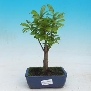 Izbová bonsai-Punic granatum nana-Granátové jablko