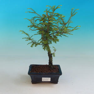 Vonkajšie bonsai - Tisovec dvojradový
