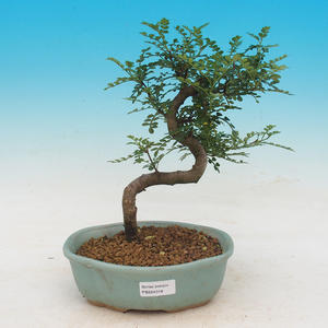 Pokojová bonsai - Zantoxylum piperitum - Pepřovník