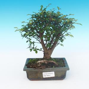 Izbová bonsai-Ulmus parvifolia-malolistá brest