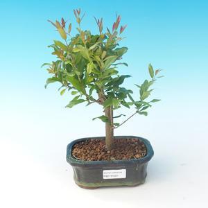 Pokojová bonsai-PUNICA granatum nana-Granátové jablko