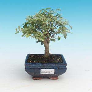 Pokojová bonsai -Ligustrum variegata - Ptačí zob