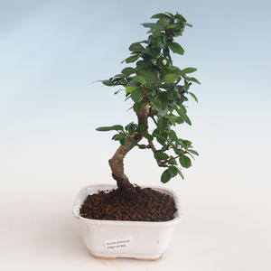 Pokojová bonsai - Carmona macrophylla - Čaj fuki PB2191305