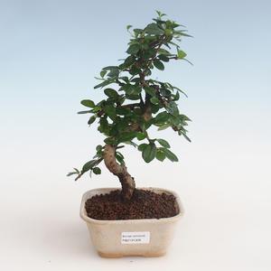 Pokojová bonsai - Carmona macrophylla - Čaj fuki PB2191309