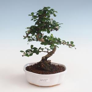 Pokojová bonsai - Carmona macrophylla - Čaj fuki PB2191330
