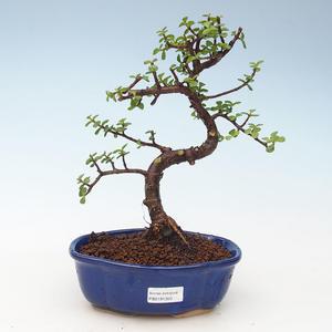 Pokojová bonsai - Portulakaria Afra - Tlustice 414-PB2191350