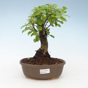Pokojová bonsai - Duranta erecta Aurea 414-PB2191370