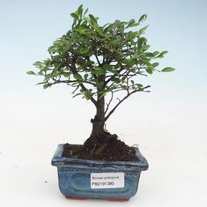 Pokojová bonsai- Ulmus Parvifolia-Malolistý jilm 414-PB2191380