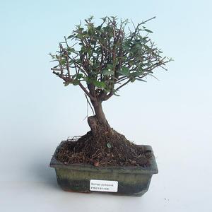 Pokojová bonsai - Sagerécie thea - Sagerécie thea 414-PB2191406