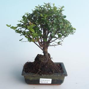Pokojová bonsai - Sagerécie thea - Sagerécie thea 414-PB2191408