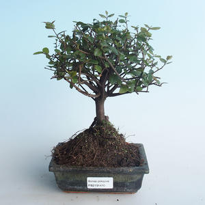 Pokojová bonsai - Sagerécie thea - Sagerécie thea 414-PB2191410