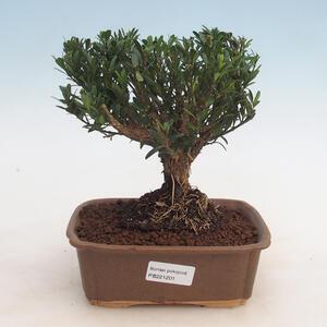 Pinus thunbergii - Borovice thunbergova