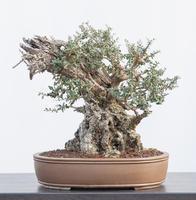 Oliva - Olea europea sylvestris