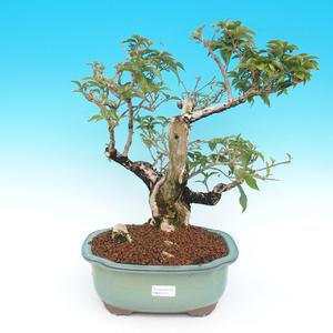 Izbová bonsai - bugenvileu