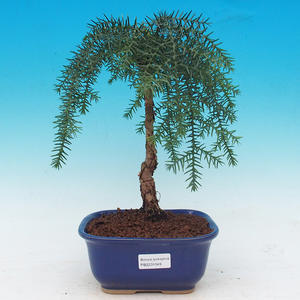 Pokojová bonsai -Araukarie - pokojový smrček