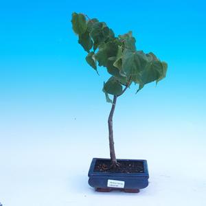 Vonkajšie bonsai - Tilia cordata - Lipa srdcovitá