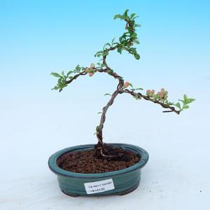 Venkovní bonsai - Kdoulovec japonský