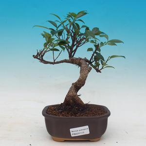 Izbová bonsai - Ficus kimmen - malolistá fikus