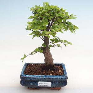 Izbová bonsai - Zantoxylum piperitum - Piepor PB2191199