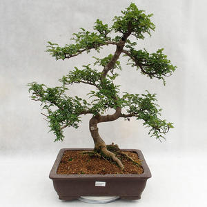 Izbová bonsai - Zantoxylum piperitum - Piepor PB2191200