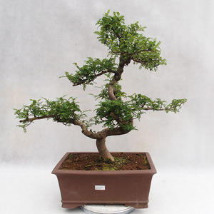 Izbová bonsai - Zantoxylum piperitum - Piepor PB2191201