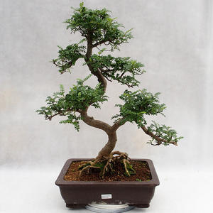 Izbová bonsai - Zantoxylum piperitum - Piepor PB2191202