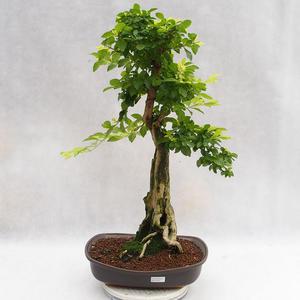 Pokojová bonsai - Duranta erecta Aurea PB2191203