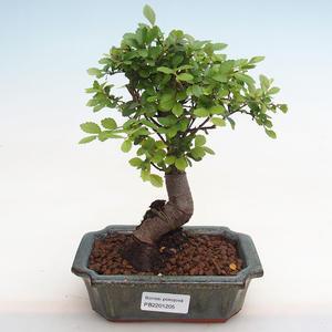 Izbová bonsai - Durant erecta Aurea PB2191205