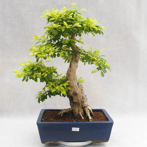 Pokojová bonsai - Duranta erecta Aurea PB2191206