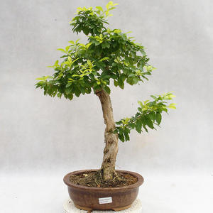 Pokojová bonsai - Duranta erecta Aurea PB2191207