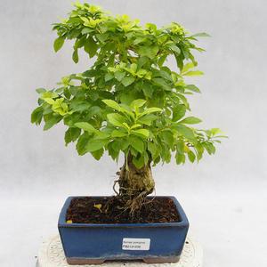 Pokojová bonsai - Duranta erecta Aurea PB2191208