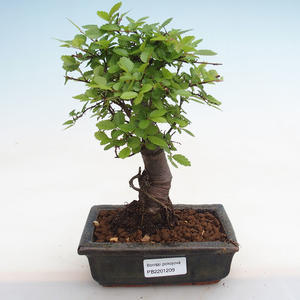 Izbová bonsai - Durant erecta Aurea PB2191209