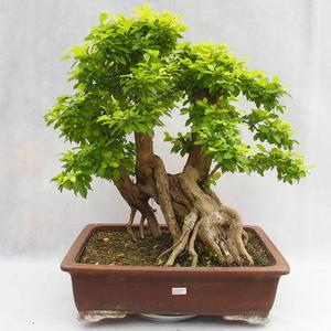 Pokojová bonsai - Duranta erecta Aurea PB2191210