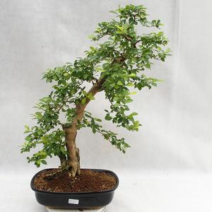 Izbová bonsai - Durant erecta Aurea PB2191211