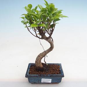 Izbová bonsai - Podocarpus - Kamenný tis PB2191213