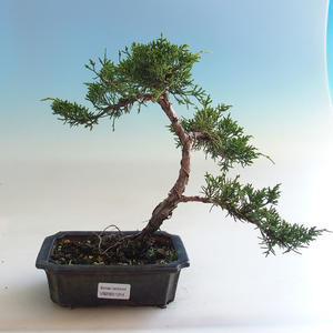 Izbová bonsai - Ficus kimmen - malolistá fikus PB2191214
