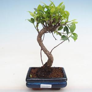 Izbová bonsai - Ficus kimmen - malolistá fikus PB2191215