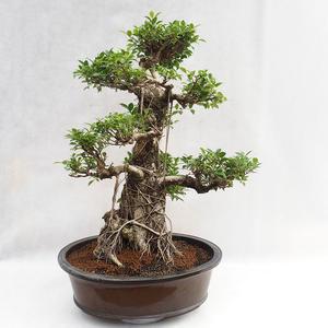 Izbová bonsai - Ficus kimmen - malolistá fikus PB2191217